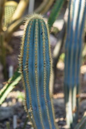 pilosocereus pachycladus cactus close up succulent desert Stock Photo