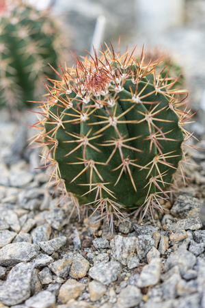 small melocactus salvadorensis with grey stones close up Stock Photo