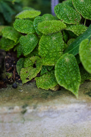 leaves of begonia staudtii plant with concrete floor Stock Photo