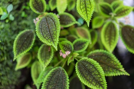 green leaves of pilea spruceana plant structure design