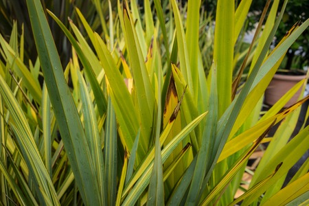 leaves of new zealand flax phormium agavaceae tanax dark ddelight