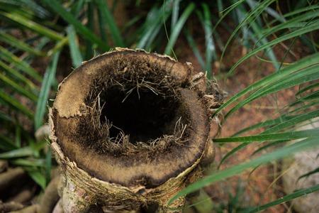 tree trunk hole of madagascar screw tree pandanus utilis pandanaceae