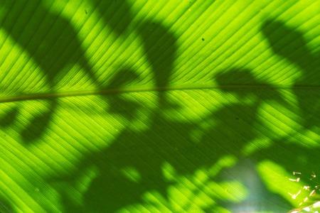 big green pin stripe leaf of calathea marantaceae from brazil