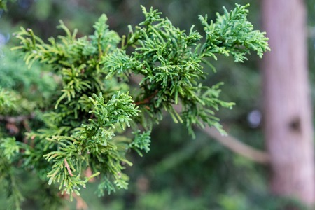 Branch and Leaf of the Dwarf Hinoki Cypress, chamaecyparis obtusa, Nana Gracilis