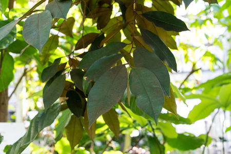 star apple plant tree, chrysophyllum cainito sopataceae