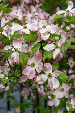 A close-up view of pink dogwood flowers, Cornus florida rubra