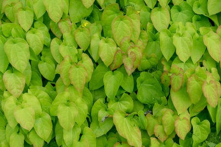 barrenwort plant leaves for background design, epimedium pinnatum Banco de Imagens