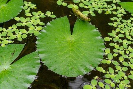 water lily leaf in pond
