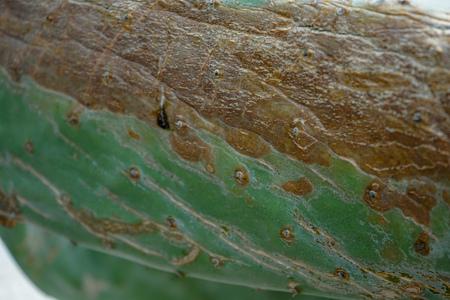 green fig cactus macro detail view, cactaceae