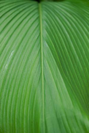 background structure of big green leaf of curcuma longa plant
