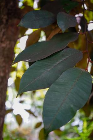 Star Apple or Chrysophyllum cainito, dark green leaves