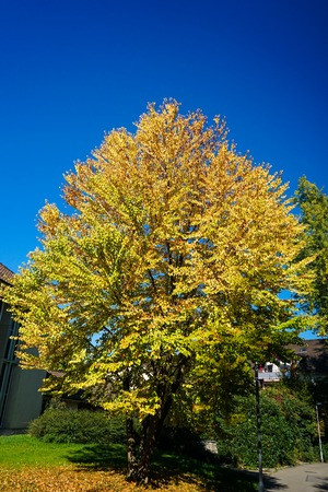 yellow tree with blue sky in autumn