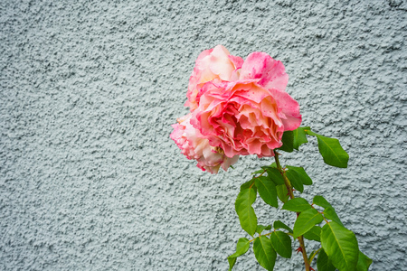 pink rose bud in front of grey wall