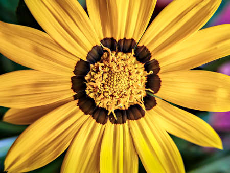 Isolated, close-up image of  yellow & brown petals  of Gazania flower with yellow center. Banque d'images