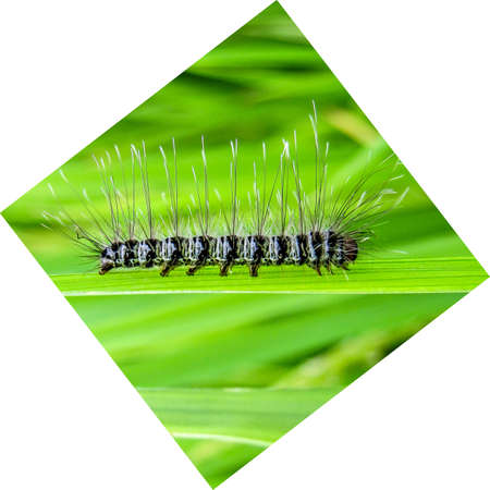 Diamond shaped image of a black and white caterpillar on a green leaf in the village.