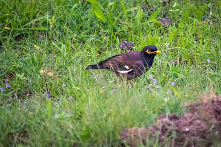 Close up, isolated image of Common Myna bird in open area on a hill in Pune, India.