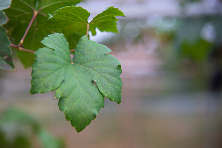 Green grape leaves on a bokeh background. Stok Fotoğraf