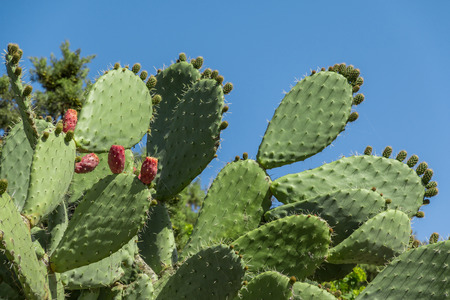 Opuntia cactus, ficus-indica with red fruit, prickly pear plant, barbary fig