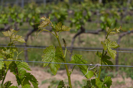 Rows of grapevine plants in italian vineyard. Young fresh grape leaves in the sun Фото со стока