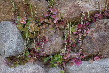 Plants growing among the stones of the ancient megalithic Nuraghe tower, the symbol of Sardinia, Italy