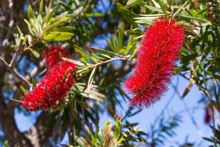 Red bottlebrush flowers of blooming callistemon citrinus plant