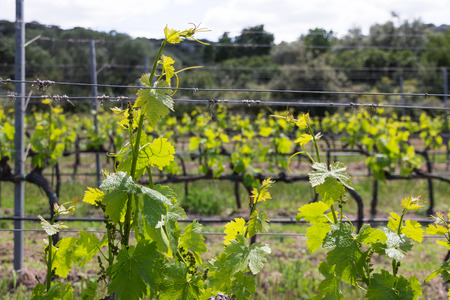 Rows of grapevine plants in italian vineyard. Young fresh grape leaves in the sun Standard-Bild - 124156141