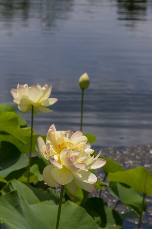 Beautiful flower floating on the water