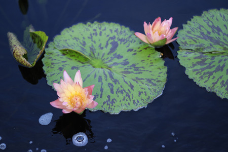 lily pad: Two Pink and Yellow Lotus Flowers Growing in Pond by Lily Pad