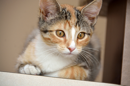 calico whiskers: Domestic Short Hair Calico Kitten Laying on Counter