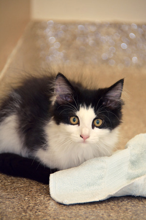 Black and White Domestic Long Hair Kitten Looking at Camera Sitting on Floor Next to Towel Stock Photo