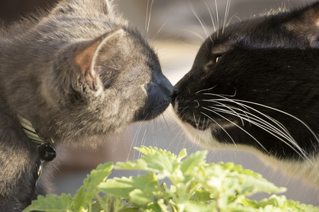 Domestic Short Hair Cats Sniffing Each Other Nose to Nose