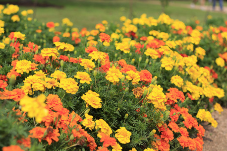 lots of: Lots of Orange and Yellow Flowers in Garden