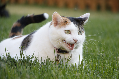 meowing: Domestic Short Hair Calico Cat Sitting in Green Grass in Backyard Meowing