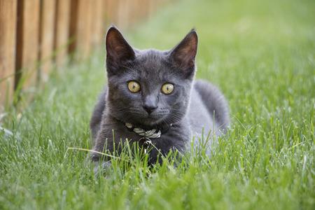 Gray Domestic Short Hair Kitten Laying in Green Grass in Backyard Looking at Camera Stock Photo