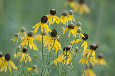 Group of Yellow Black Eyed Susan Flowers Growing in Meadow or Field