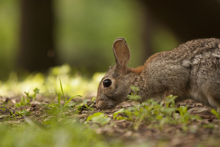 Adult Brown Bunny Rabbit Sitting in Forest Preserve Looking at Camera Stock Photo