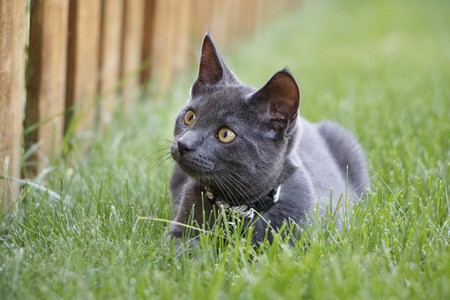 Gray Domestic Short Hair Kitten Laying in Green Grass in Backyard with Wooden Fence in Background