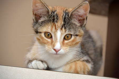 calico: Domestic Short Hair Calico Kitten Laying on Counter Looking at Camera Stock Photo