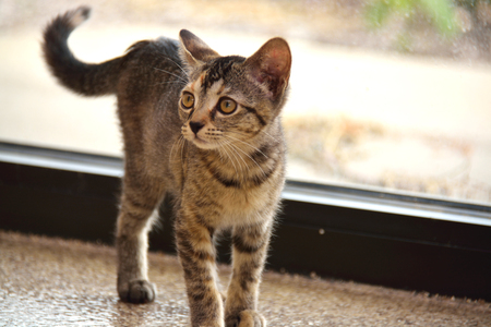 Brown Domestic Short Hair Striped Kitten Standing on Floor in Front of Window Stock Photo