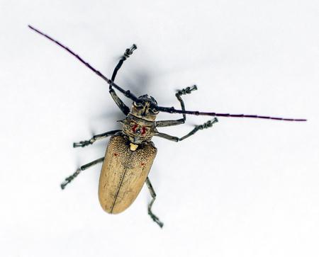 stercorarius: beetle isolated
