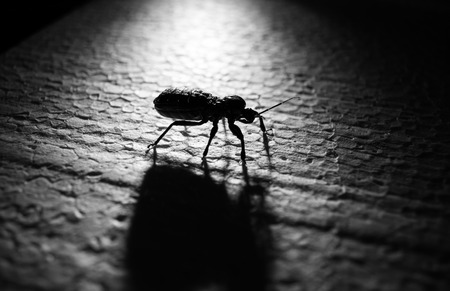 entomology: bug unders lighting effect with shadow in black and white Stock Photo