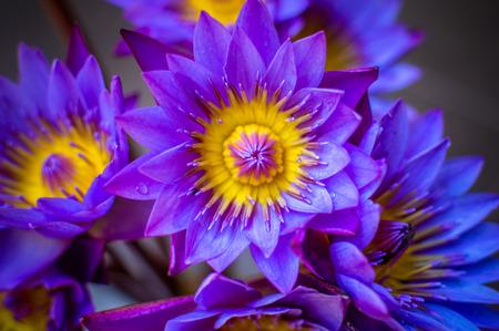 Blue lotus flower close up