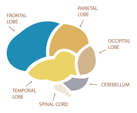 thalamus: Human brain anatomy illustration Illustration