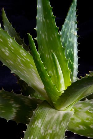 first plane: The first plane of Aloe Vera (Aloe Barbadensis Miller) Stock Photo