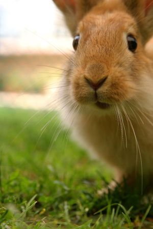 curiously: Surprised rabbit, looking curiously at the camara.