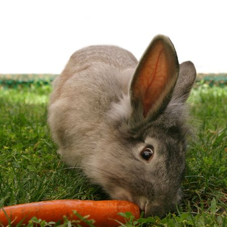 attentively:  Rabbit looks attentively whilst eating a carrot.