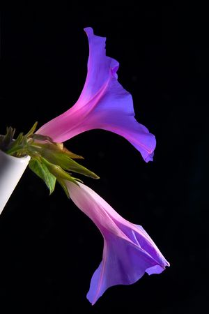 Morning glory in a white vase. Ipomoea. Stock Photo