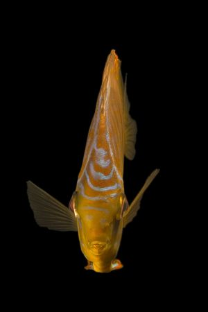 Close-up of a beautiful fish on black background.(Symphysodon aequifasciata) photo
