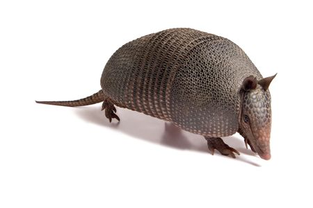 Armadillo of six bands, on to white background. Stock Photo