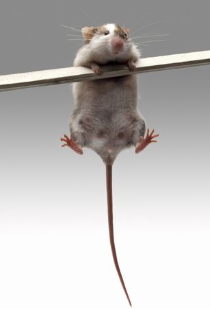 A mouse balancing on a stick on white background. Stock Photo